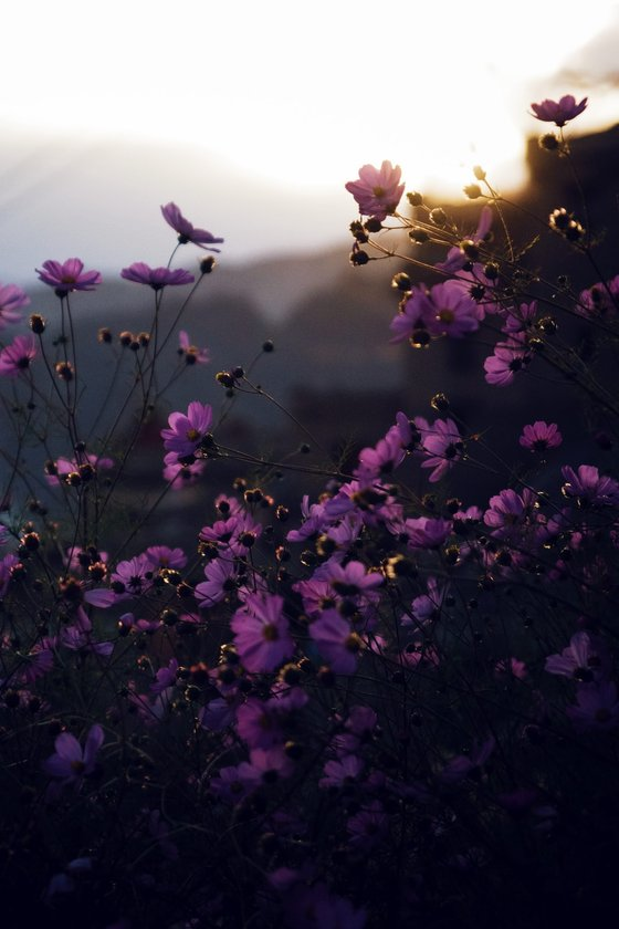 purple flowers with yellow and white sun light